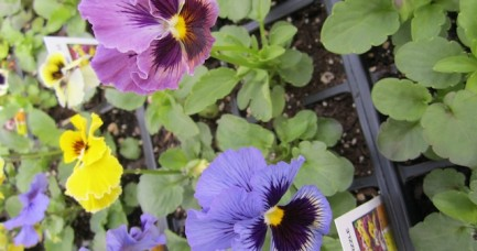 Farmstand - Pansies