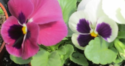 Farmstand Pansies up close